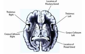 Thalamus, Pineal and Pituitary Glands