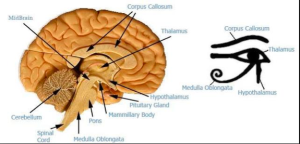 EYE OF HORUS = CENTRAL BRAIN